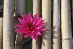 Rosa lotusblomma mellan bambu Arkivbilder
