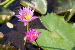 Rosa lotusblomma och gräsplan för den Lotus blomman härlig spricker ut Royaltyfri Fotografi