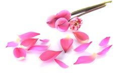 Rosa lotusblomma och lotusblommaPinks lotusblomma och lotusblomma Arkivfoto