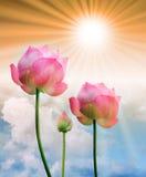 Rosa lotusblomma- och solljus Arkivbilder