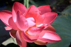 Rosa lotusblomma på vatten med mörk bakgrund royaltyfri bild