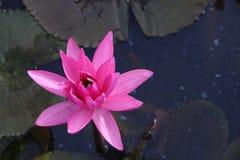 Rosa lotusblomma som svävar med bladet som tillbaka malt Fotografering för Bildbyråer