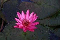 Rosa lotusblomma som svävar med bladet som tillbaka malt arkivbilder