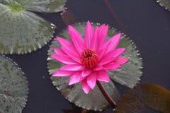 Rosa lotusblomma som svävar med bladet som tillbaka malt royaltyfria bilder