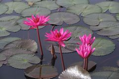 Rosa lotusblomma som svävar med bladet som tillbaka malt Royaltyfri Bild