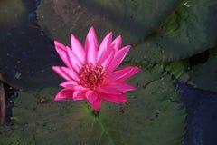 Rosa lotusblomma som svävar med bladet som tillbaka malt Arkivfoton