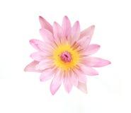 rosa lotusblommablom Arkivbilder
