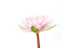 rosa lotusblommablom Royaltyfri Fotografi