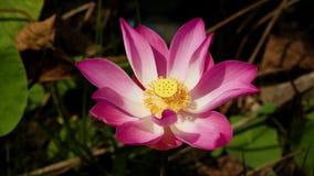 Rosa lotusblommablomma stock video