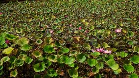 Rosa lotusblommablomma lager videofilmer