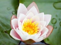 Rosa lotusblommablomma Royaltyfria Bilder