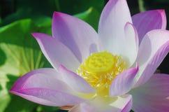 Rosa lotusblommablomma Fotografering för Bildbyråer