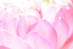 Rosa lotusblommablomma Royaltyfri Foto