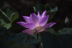 Rosa lotusblommablomma Arkivfoto
