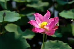 Rosa lotusblommablomma royaltyfria foton