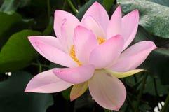 Rosa lotusblommablomma för blomning Arkivbild