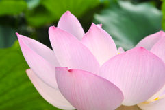 Rosa lotusblommablomma för blomning Arkivbilder