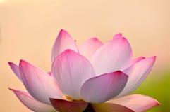 Rosa lotusblommablomma för blomning Fotografering för Bildbyråer