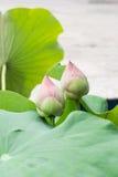 Rosa lotusblommablomma i denLotus knoppen Fotografering för Bildbyråer