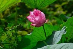 Rosa lotusblommablomma i morgon Arkivfoto