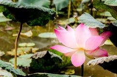 Rosa lotusblommablomma och lotusblommablad Arkivbild