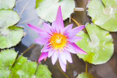 Rosa lotusblommablomma och växter för Lotus blomma Arkivfoton