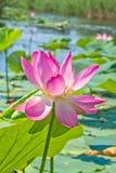 Rosa lotusblommablomma på dammet i panelljuset, närbild arkivbild