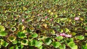 Rosa lotusblommablomma