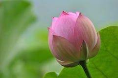 Rosa lotusblommablommaknopp Arkivbild