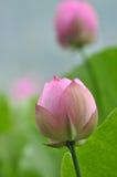 Rosa lotusblommablommaknoppar Arkivbild