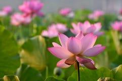 Rosa lotusblommablommor för blomning Fotografering för Bildbyråer