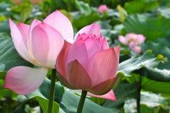 Rosa lotusblommablommor för blomning Royaltyfri Foto