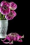 Rosa lotusblommablommor i vasen som isoleras på svart Fotografering för Bildbyråer
