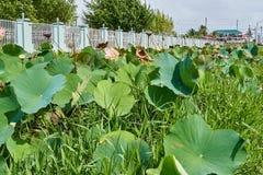 Rosa lotusblommablommor på sida av vägen i Georgetown, Guyana arkivfoto