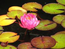Rosa lotusblommablomning royaltyfri foto