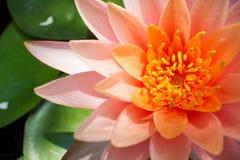 Rosa lotusblommablomning Arkivbilder