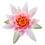 Rosa lotusblommablomning Arkivfoto