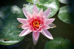 Rosa lotusblommablomning Royaltyfri Fotografi