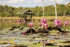 Rosa lotusblommor i dammet med mest rorest som bakgrund Arkivbild
