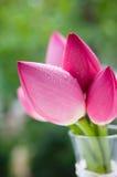 Rosa lotusblommor i den glass vasen Royaltyfri Bild