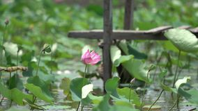 Rosa lotusblommor i försiktig vind arkivfilmer