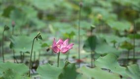Rosa lotusblommor i försiktig vind stock video