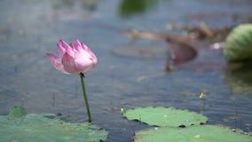 Rosa lotusblommor i försiktig vind lager videofilmer