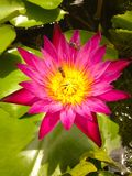 rosa lotuslotus Arkivbilder