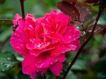 Rosa lumineux et fuchsia photo libre de droits