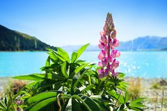 Rosa lupin på Pukaki sjön i Nya Zeeland Arkivfoton