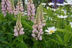 Rosa lupinus, lupin eller lupine och tusenskönor Härlig blomma äng arkivfoto