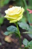 Rosa macia do amarelo Imagens de Stock Royalty Free