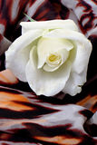 Rosa macra del blanco en fondo con adorno del leopardo Imagenes de archivo