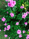Rosa madamaska Blume Stockbild